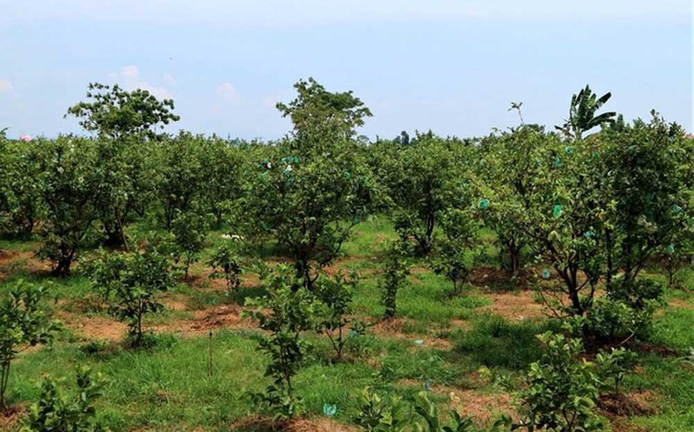 Quảng Nam: Một ông nông dân trồng vườn 10 loại cây đặc sản, trong đó có quả bưởi to như quả mít nặng 5kg - Ảnh 3.
