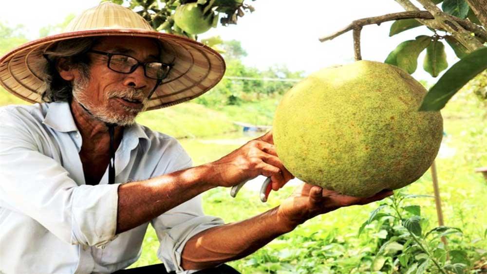 Quảng Nam: Một ông nông dân trồng vườn 10 loại cây đặc sản, trong đó có quả bưởi to như quả mít nặng 5kg - Ảnh 2.