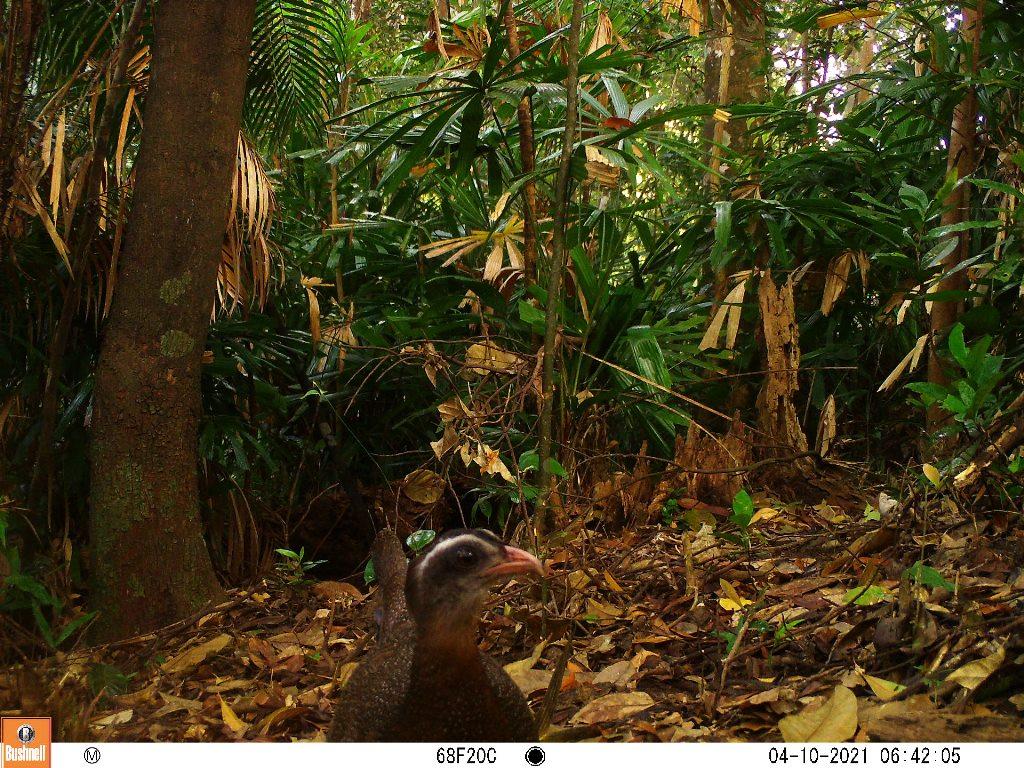 TT-Huế: Vừa phát hiện ở Khu bảo tồn thiên nhiên Phong Điền loài mang quý hiếm tưởng như đã tuyệt chủng - Ảnh 3.