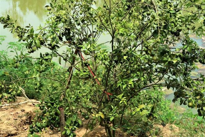 Quảng Nam: Một ông nông dân trồng vườn 10 loại cây đặc sản, trong đó có quả bưởi to như quả mít nặng 5kg - Ảnh 4.