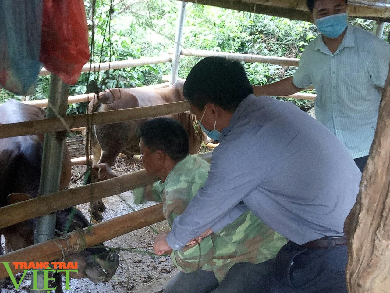 Sơn La: Ngăn chặn bệnh viêm da nổi cục ở trâu, bò - Ảnh 1.