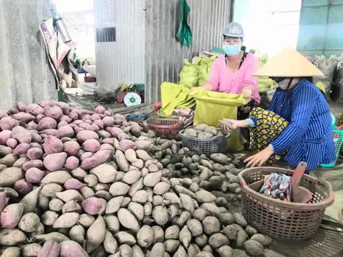 Lỗ trắng, nông dân trồng khoai lang tím Nhật chỉ biết rơi nước mắt - Ảnh 3.