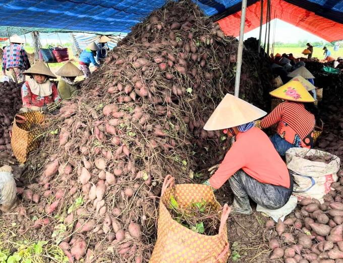 Lỗ trắng, nông dân trồng khoai lang tím Nhật chỉ biết rơi nước mắt - Ảnh 1.
