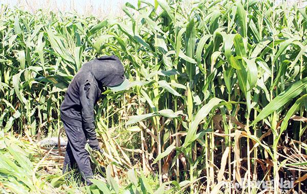 Đồng Nai: Trồng bắp không lấy hạt mà bán thân cây, ấy thế mà nông dân lại lãi to - Ảnh 1.