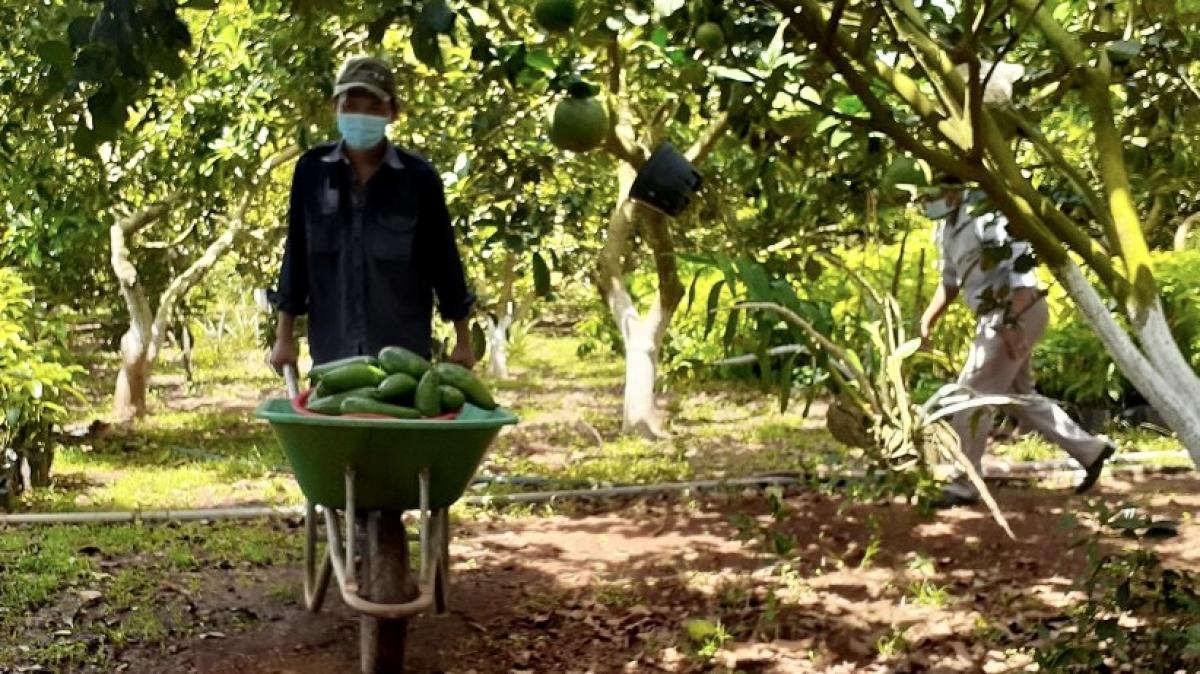 Hàng loạt trái cây không tiêu thụ được, nhà vườn ở Bà Rịa – Vũng Tàu kêu cứu - Ảnh 2.