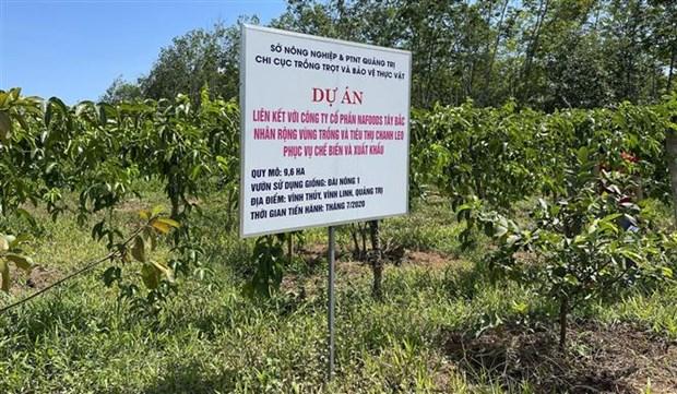 Quảng Trị: Vùng đất nóng trồng thứ cây ra trái ăn mát để làm gì mà bán loại nhất giá 35.000-38.000 đồng/kg? - Ảnh 1.