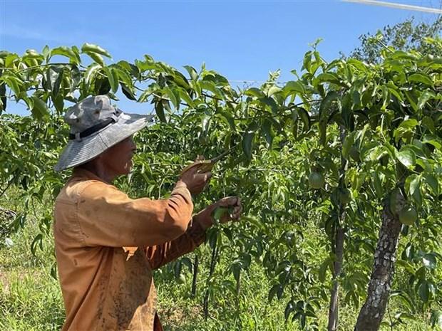 Quảng Trị: Vùng đất nóng trồng thứ cây ra trái ăn mát để làm gì mà bán loại nhất giá 35.000-38.000 đồng/kg? - Ảnh 2.