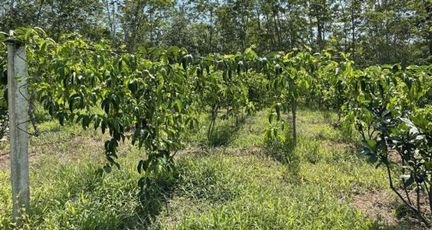 Quảng Trị: Vùng đất nóng trồng thứ cây ra trái ăn mát để làm gì mà bán loại nhất giá 35.000-38.000 đồng/kg? - Ảnh 5.