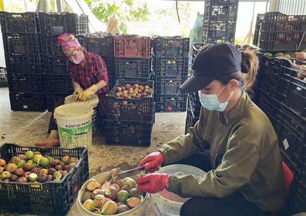 Quảng Trị: Vùng đất nóng trồng thứ cây ra trái ăn mát để làm gì mà bán loại nhất giá 35.000-38.000 đồng/kg? - Ảnh 4.
