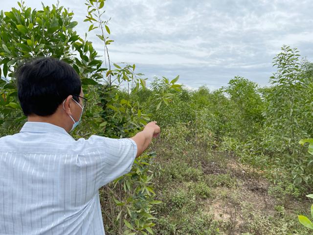 Quảng Ngãi: Mô hình trồng nghệ dưới tán rừng keo gần 4 tỷ mới nữa chừng đã phá sản  - Ảnh 1.