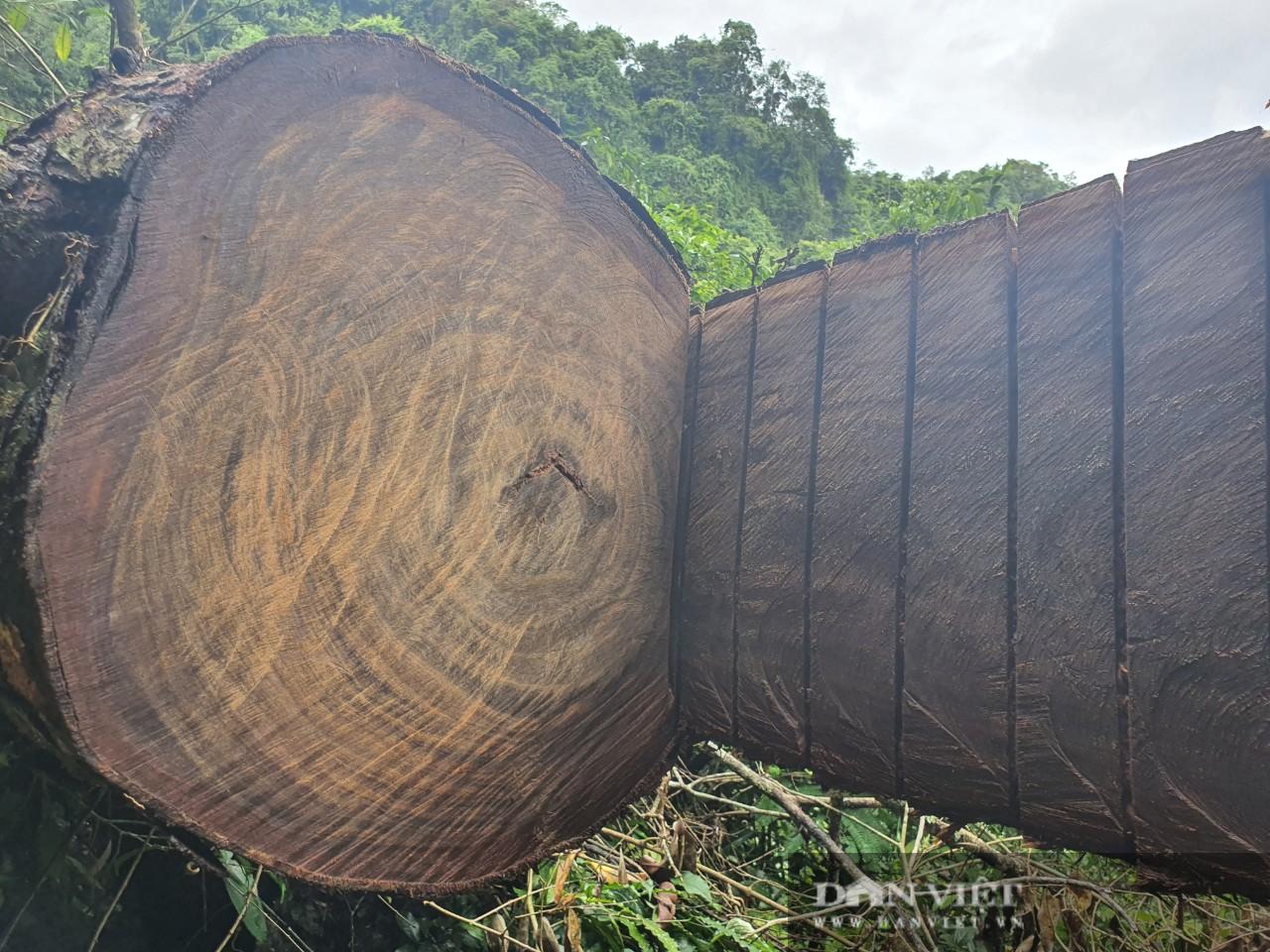 Video: Cận cảnh rừng nghiến cổ thụ VQG Du Già bị tàn phá - Ảnh 2.