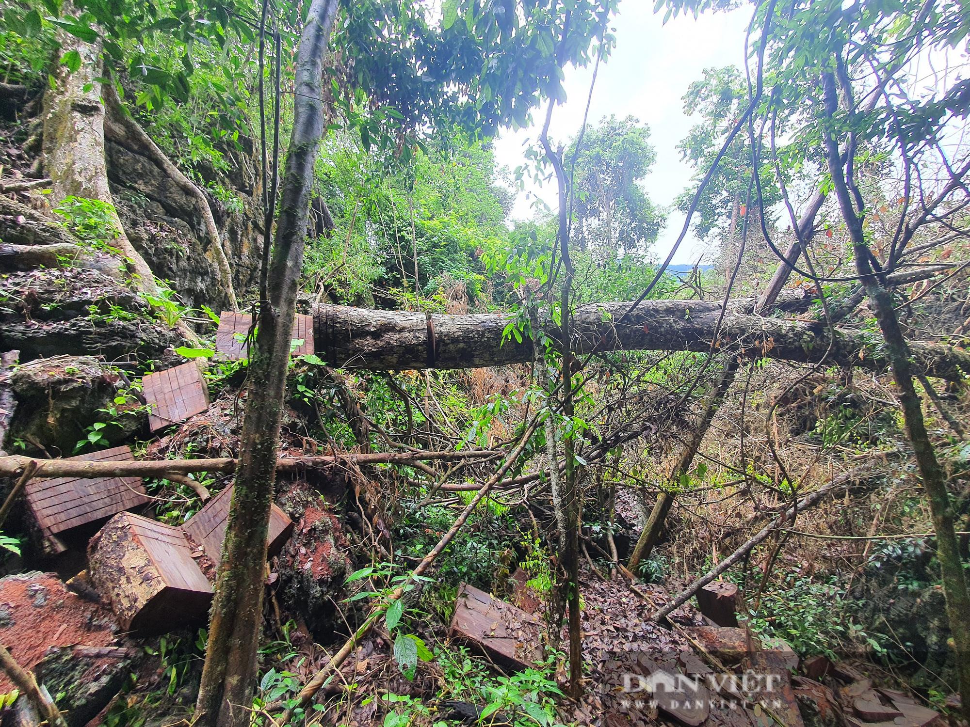 Video: Cận cảnh rừng nghiến cổ thụ VQG Du Già bị tàn phá - Ảnh 3.