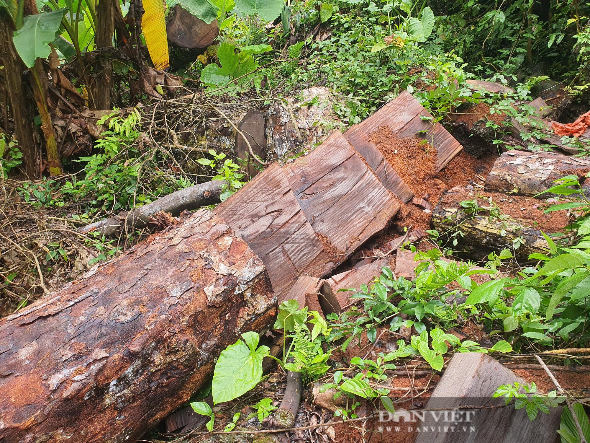 """Cục Kiểm lâm chỉ đạo """"nóng"""" vụ phá rừng quy mô lớn chưa từng có ở Hà Giang - Ảnh 4."""