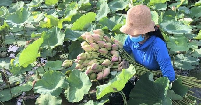 Ninh Bình: Nhân viên du lịch hái hoa sen, gặt lúa để có thêm thu nhập - Ảnh 3.