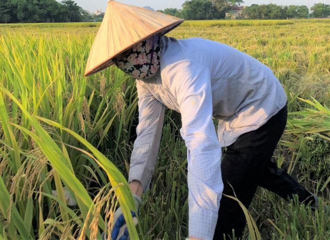 Ninh Bình: Nhân viên du lịch hái hoa sen, gặt lúa để có thêm thu nhập - Ảnh 6.