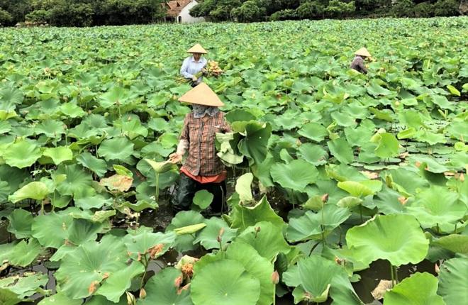 Ninh Bình: Nhân viên du lịch hái hoa sen, gặt lúa để có thêm thu nhập - Ảnh 4.