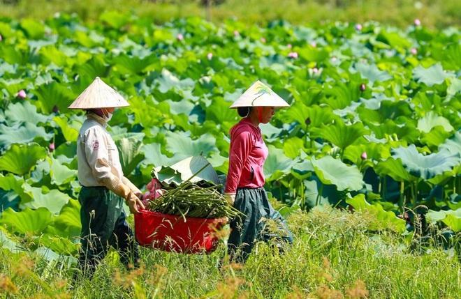 Ninh Bình: Nhân viên du lịch hái hoa sen, gặt lúa để có thêm thu nhập - Ảnh 5.
