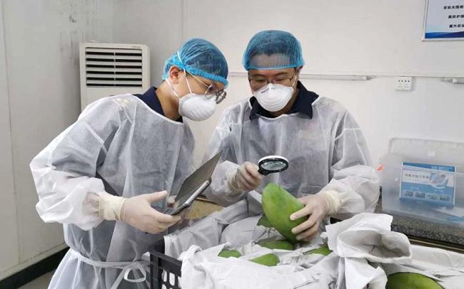 Nhân viên hải quan Trung Quốc kiểm tra xoài keo Romiet tươi nhập khẩu từ Campuchia. Ảnh: PhnomPenh Post