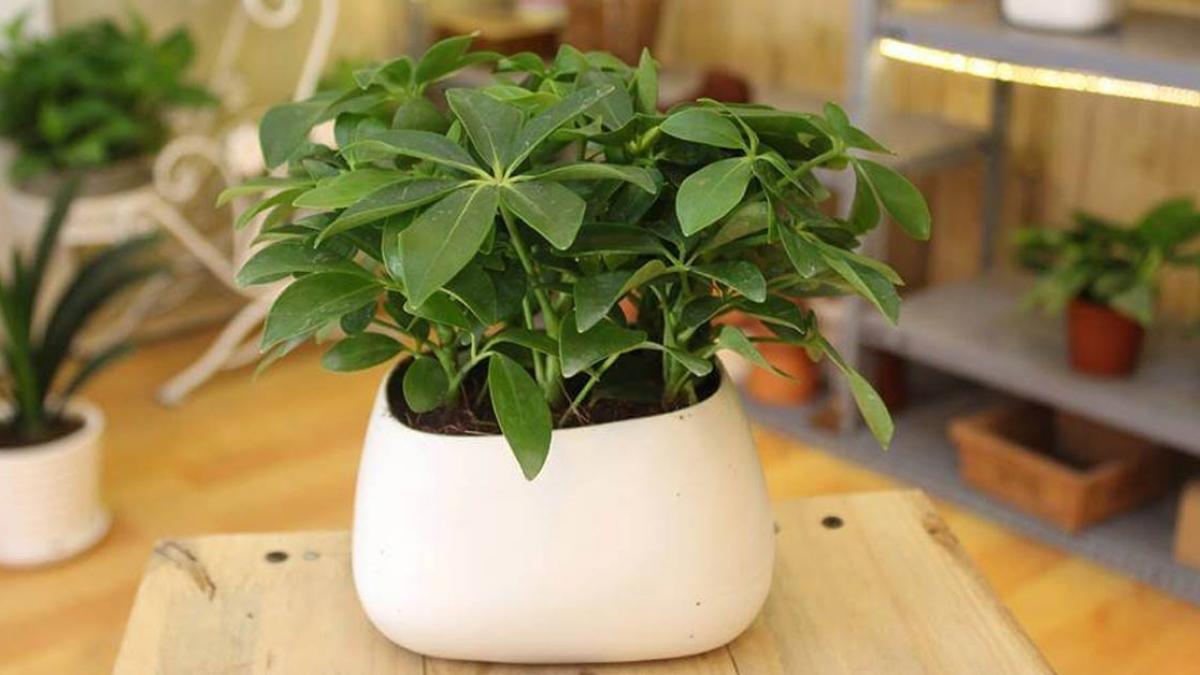 Bật mí loài cây phong thủy sẽ mang lại may mắn, thịnh vượng cho 12 con giáp - Ảnh 2.