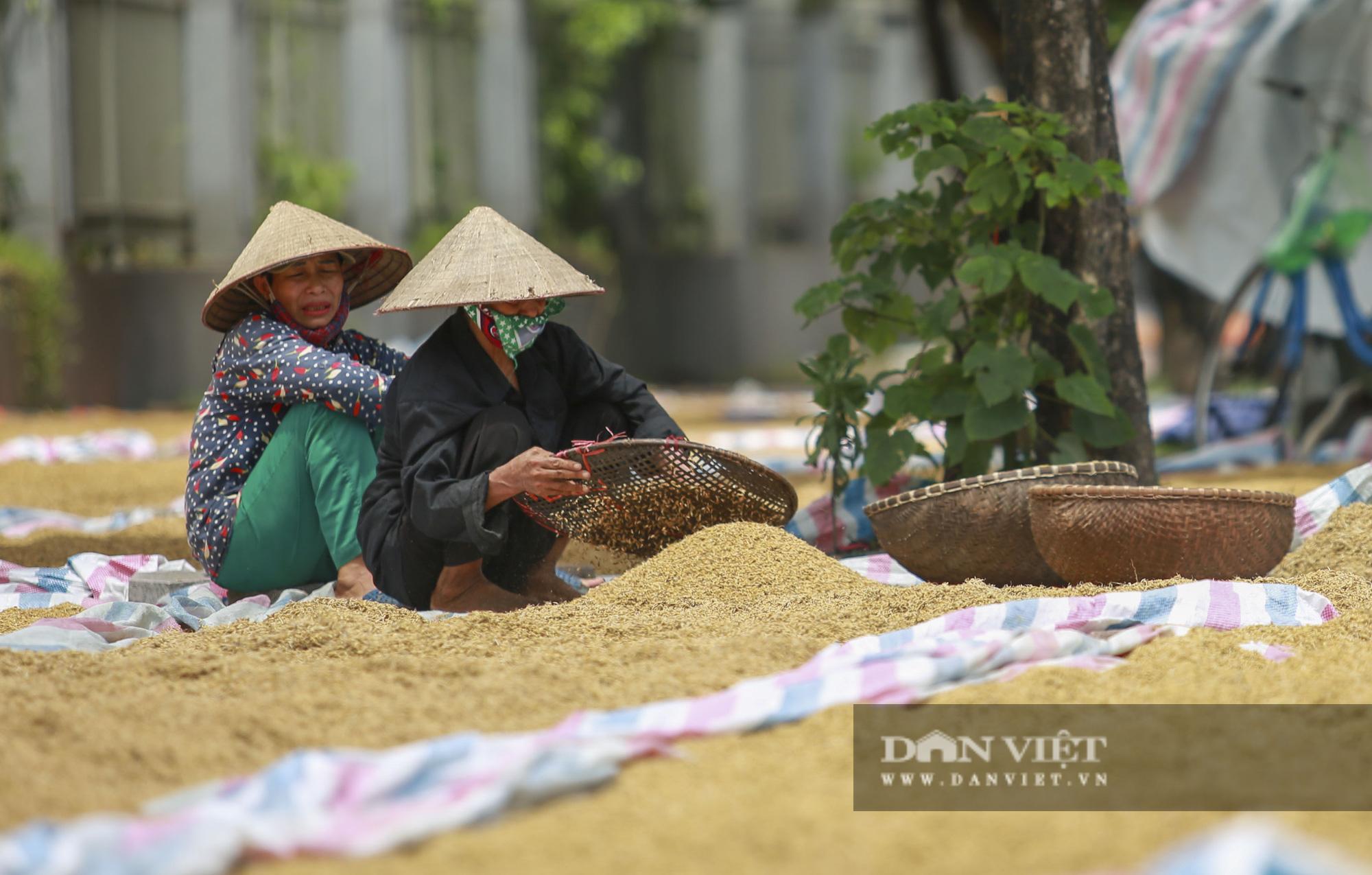 Hà Nội: Nông dân bất lực nhìn lúa mọc mầm vì mưa liên tiếp - Ảnh 2.