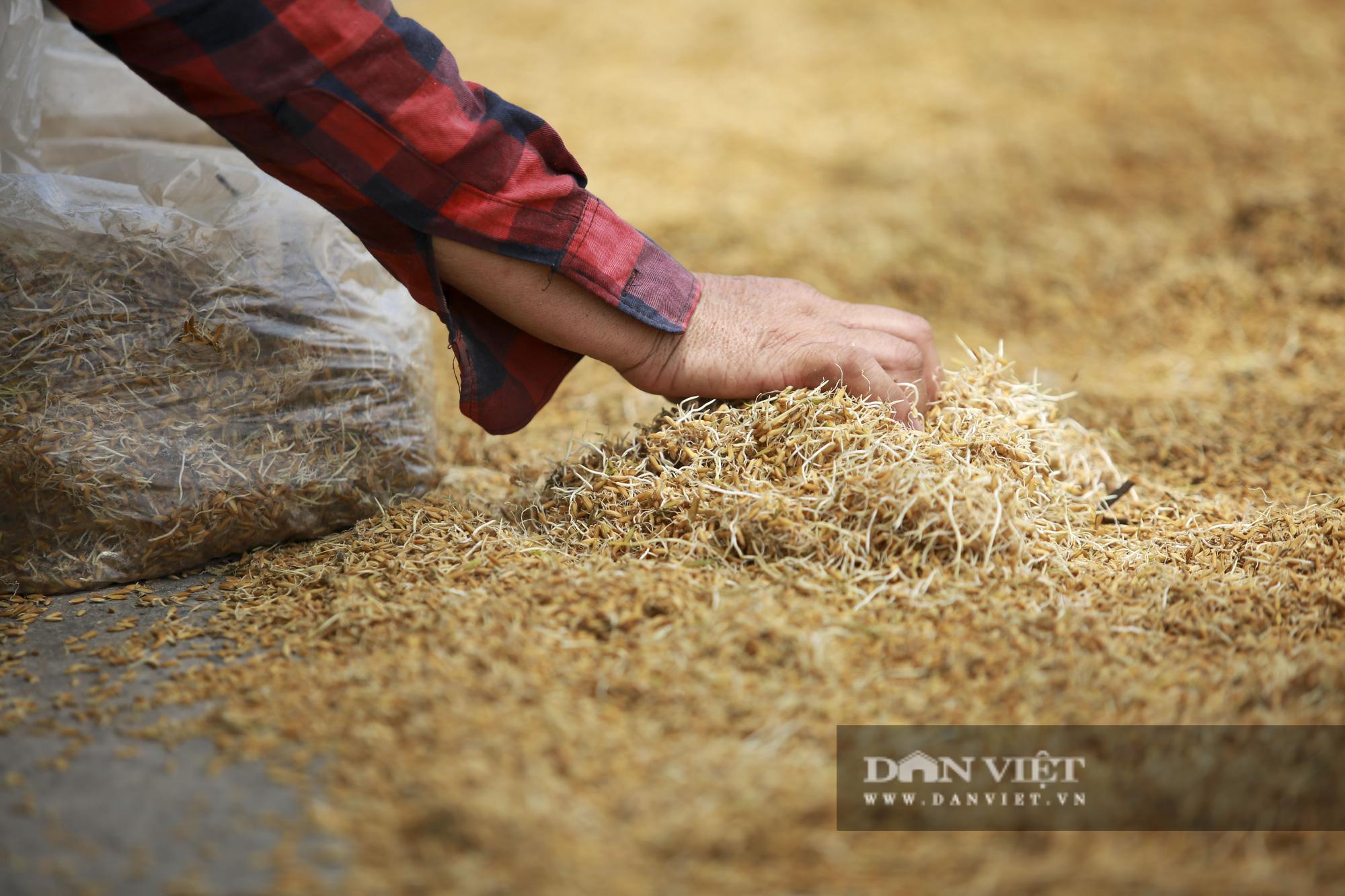 Hà Nội: Nông dân bất lực nhìn lúa mọc mầm vì mưa liên tiếp - Ảnh 3.