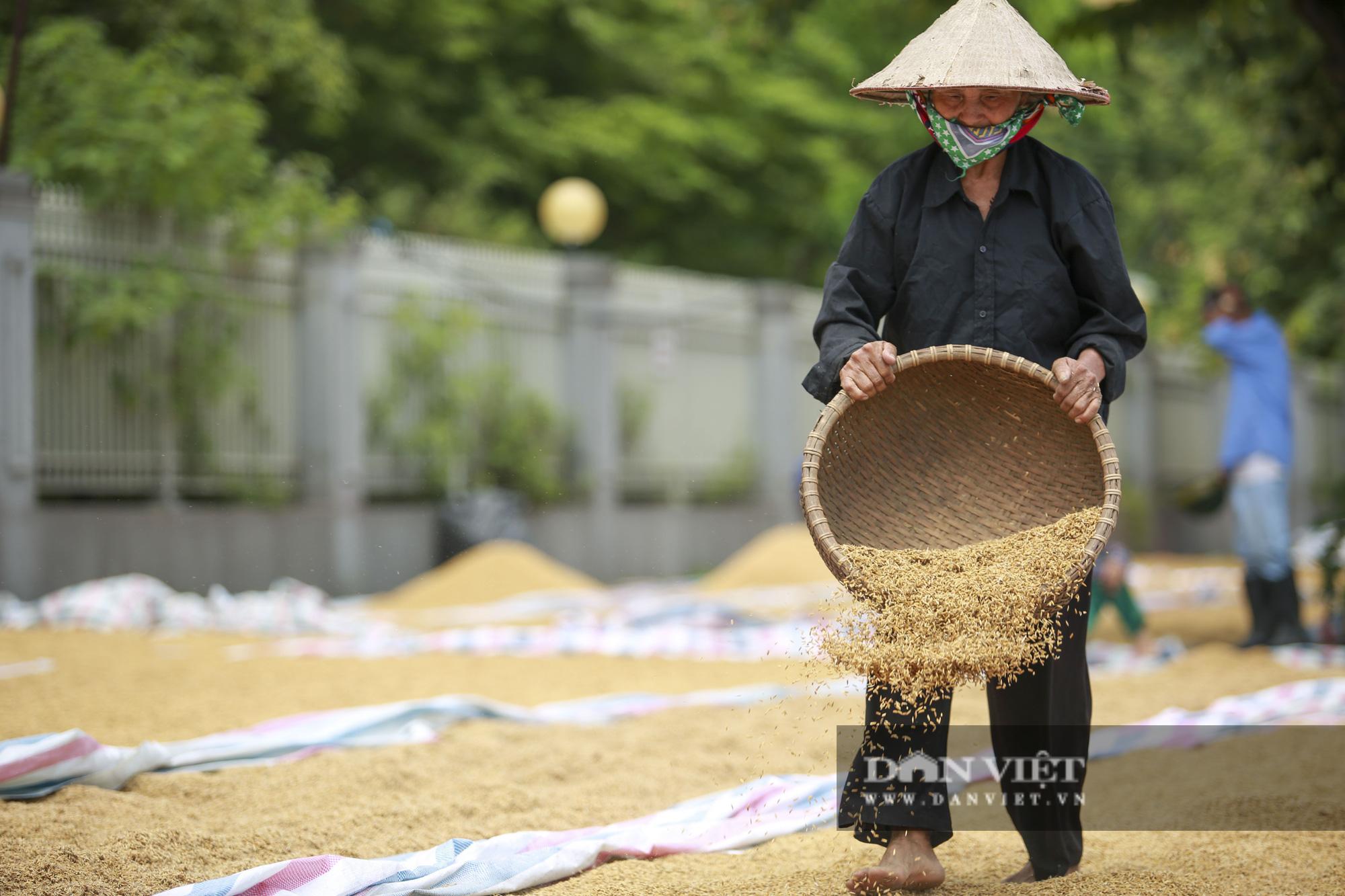 Hà Nội: Nông dân bất lực nhìn lúa mọc mầm vì mưa liên tiếp - Ảnh 5.