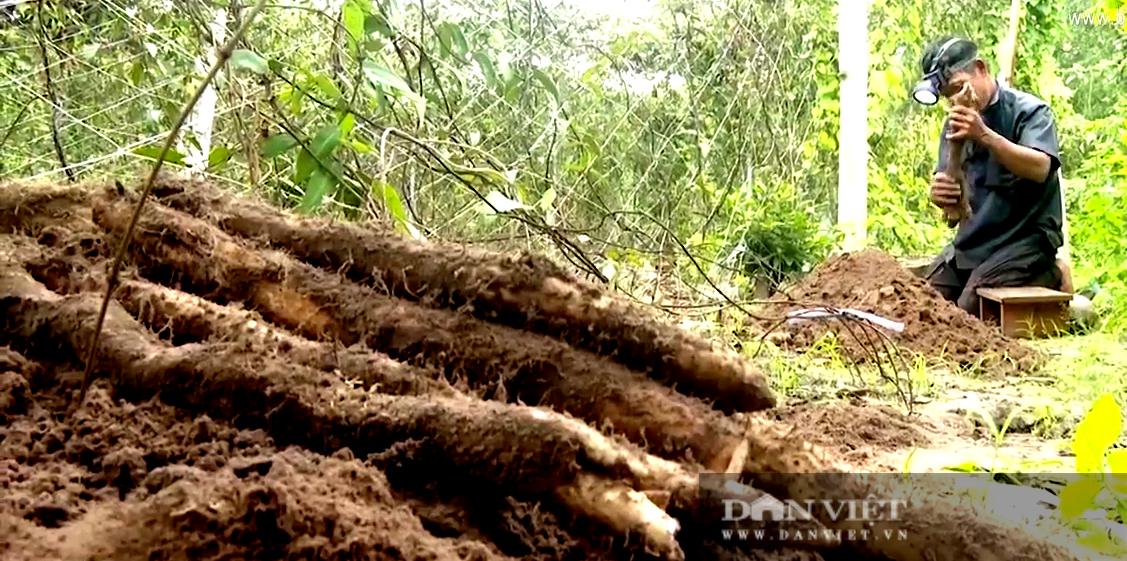 Bà Rịa – Vũng Tàu: Trồng loại khoai này một lần đào củ bán mãi, anh nông dân lời mỗi sào hơn 120 triệu đồng - Ảnh 1.