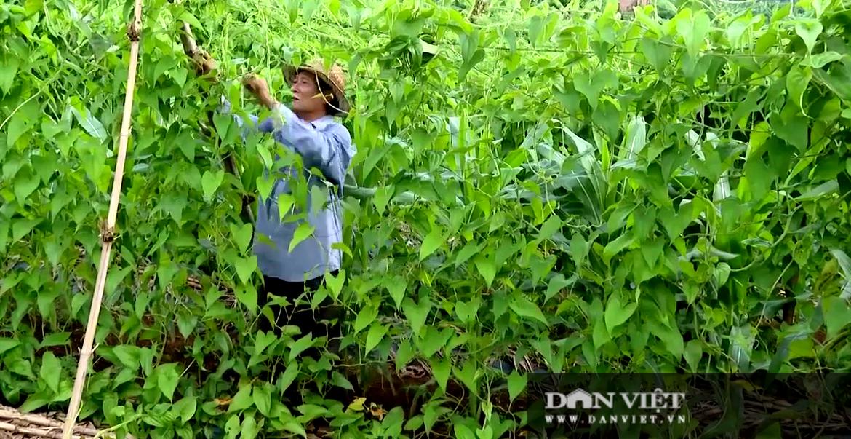 Bà Rịa – Vũng Tàu: Trồng loại khoai này một lần đào củ bán mãi, anh nông dân lời mỗi sào hơn 120 triệu đồng - Ảnh 4.