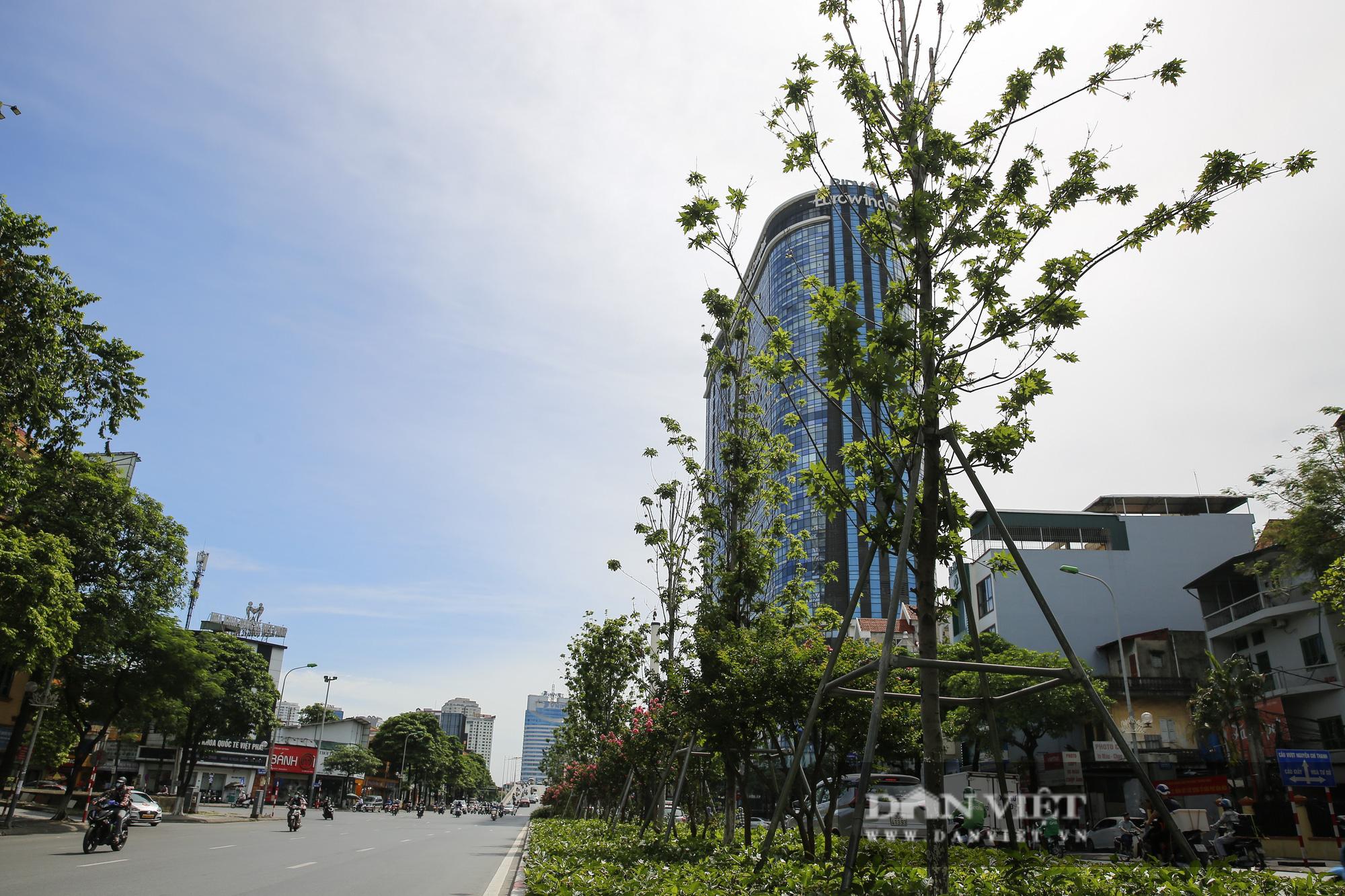 """Hàng cây phong lá đỏ tại Hà Nội bỗng """"hồi sinh"""" giữa mùa hè - Ảnh 1."""