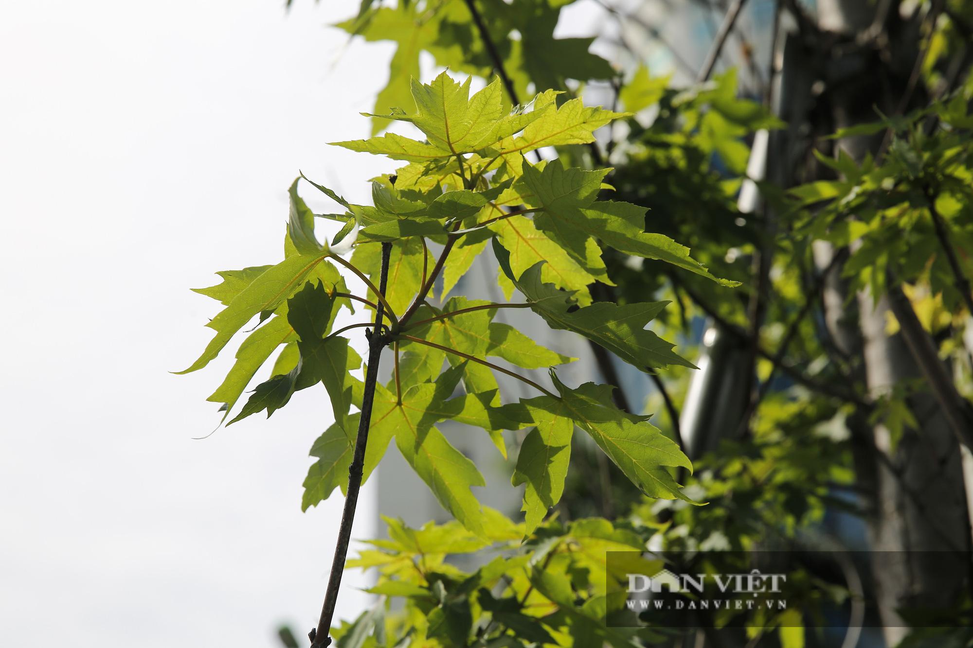 """Hàng cây phong lá đỏ tại Hà Nội bỗng """"hồi sinh"""" giữa mùa hè - Ảnh 4."""