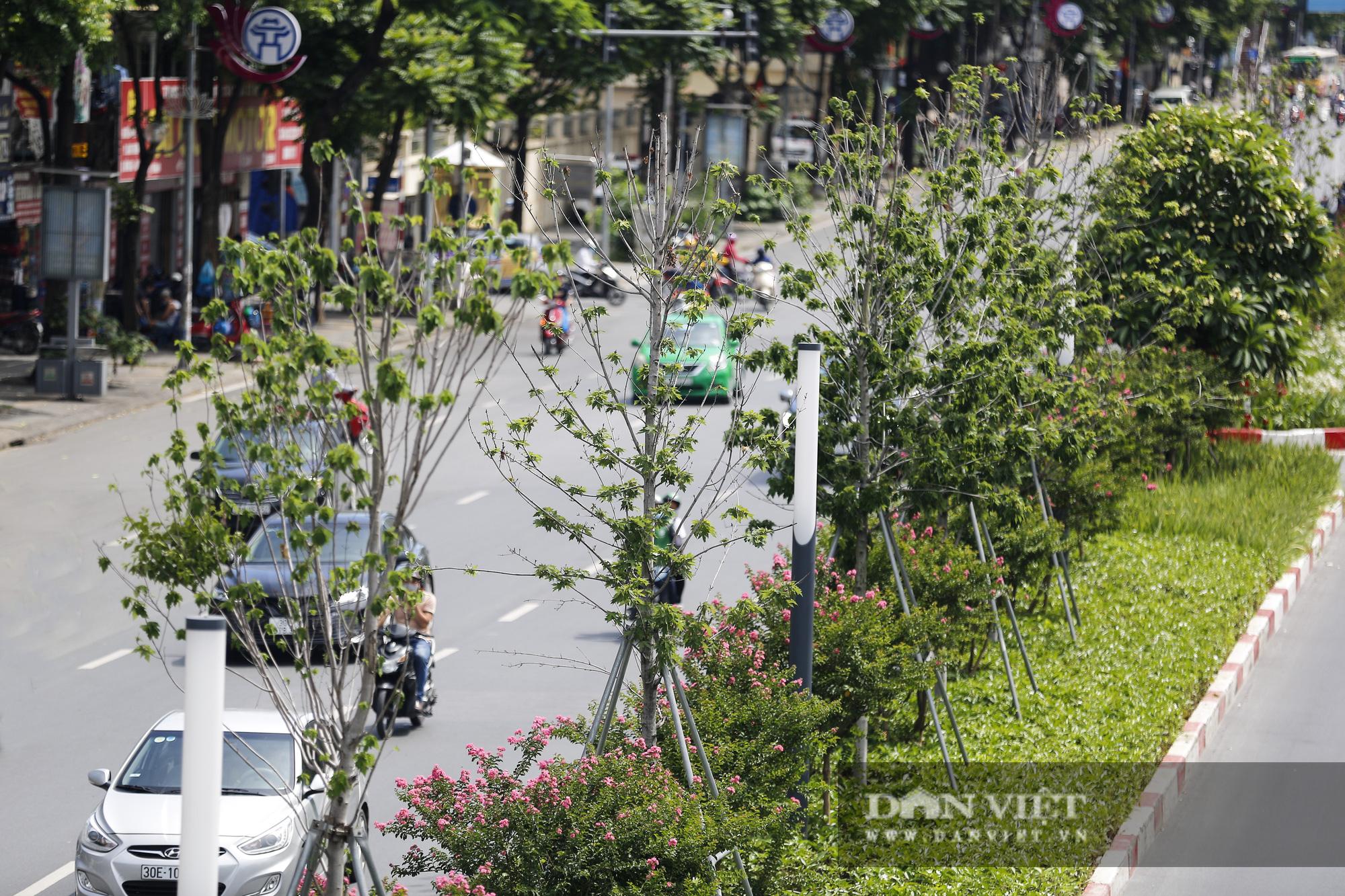 """Hàng cây phong lá đỏ tại Hà Nội bỗng """"hồi sinh"""" giữa mùa hè - Ảnh 5."""
