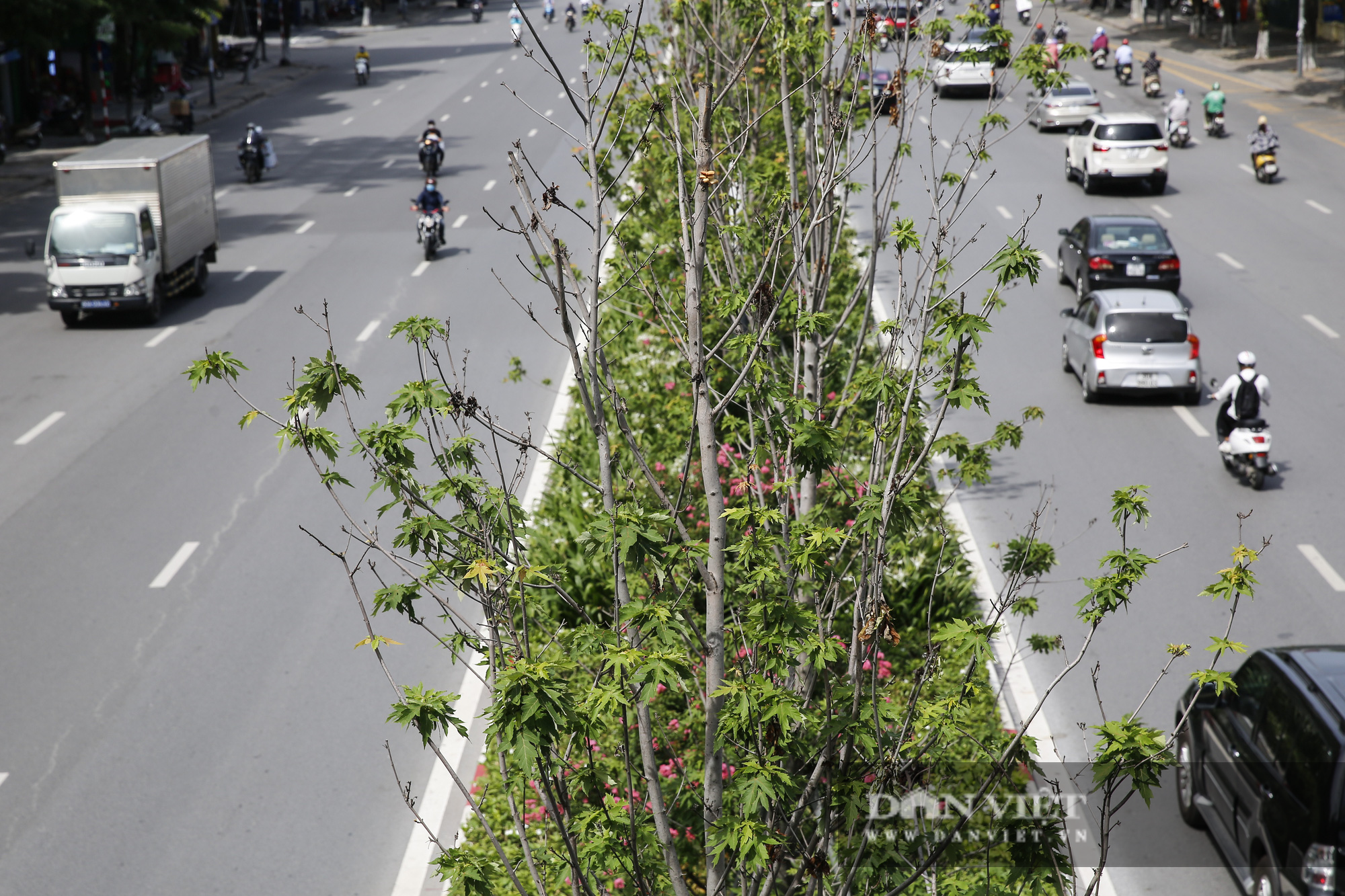 """Hàng cây phong lá đỏ tại Hà Nội bỗng """"hồi sinh"""" giữa mùa hè - Ảnh 6."""