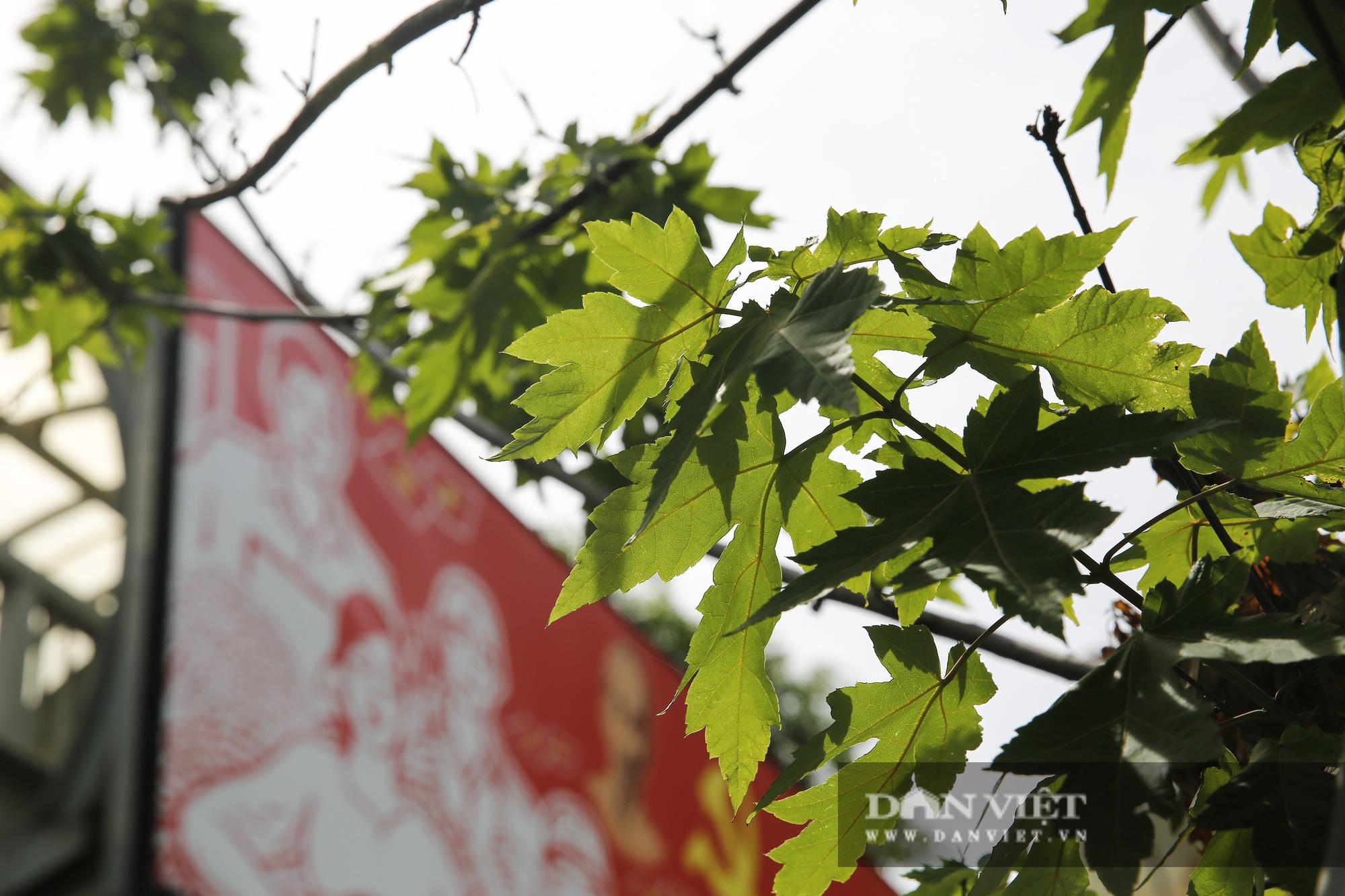 """Hàng cây phong lá đỏ tại Hà Nội bỗng """"hồi sinh"""" giữa mùa hè - Ảnh 7."""