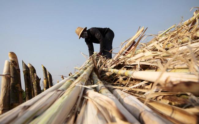 Nông dân thu hoạch mía ở tỉnh Khon Kaen, Thái Lan. Ảnh: BangkokPost
