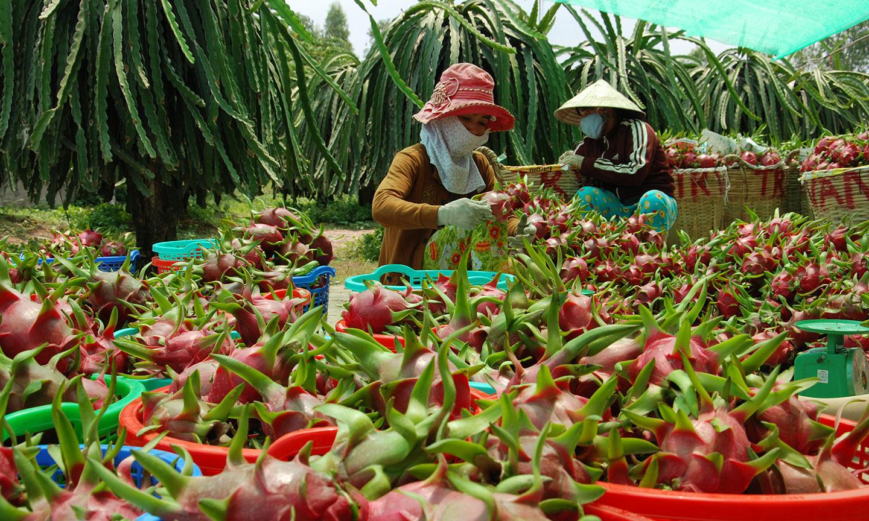 Thanh long, xoài, khoai lang sắp đổ ra thị trường hàng triệu tấn, Bộ NNPTNT đề nghị Ban Tuyên giáo Trung ương hỗ trợ việc - Ảnh 2.