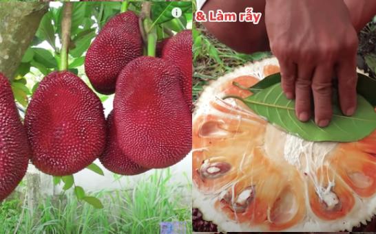 Thực hư giống mít lạ có vỏ đỏ chót, ruột màu cam đã từng xuất hiện ở Việt Nam?