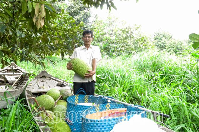 Sóc Trăng: Trồng mít Thái siêu sớm, gặp lúc giá mít rẻ chưa từng thấy, nông dân lỗ nặng - Ảnh 1.