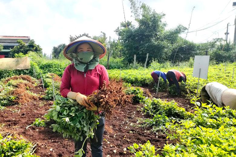 """Lâm Đồng: Trồng thứ cây quả """"chui"""" xuống đất """"biến"""" thành củ, bất ngờ là bóc ra thấy hạt """"chín"""" tím đen - Ảnh 1."""