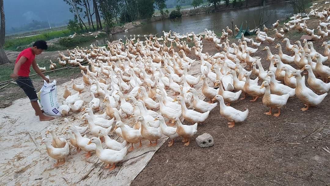 Giá gia cầm hôm nay 18/6: Giá vịt thịt miền Nam giảm nhẹ, gà công nghiệp được giá cao - Ảnh 1.