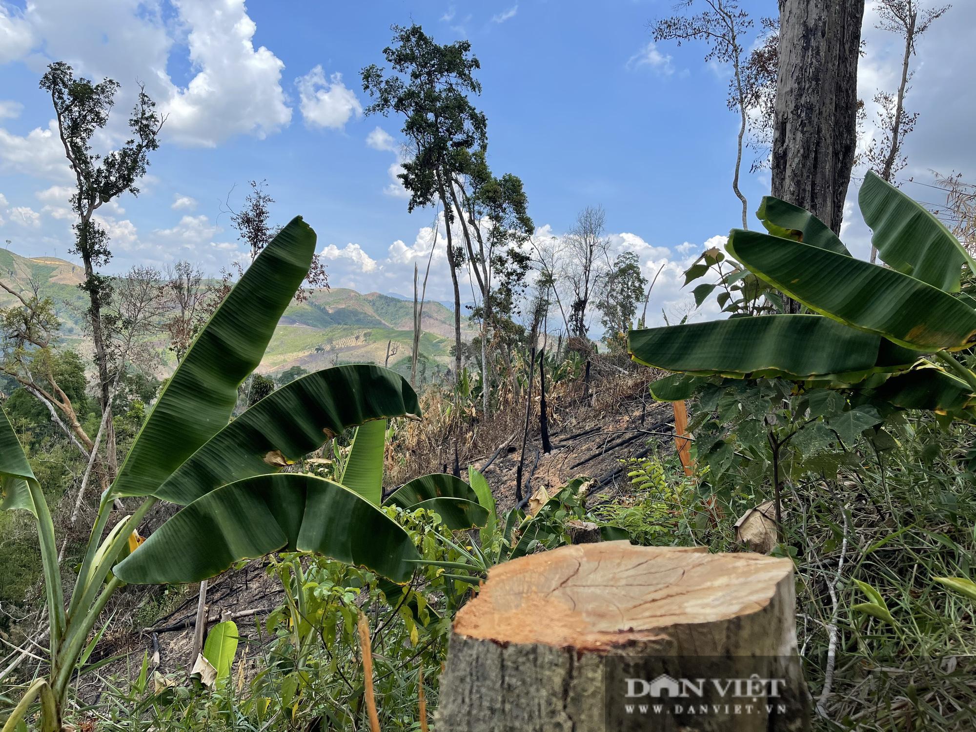 Công ty lâm nghiệp Krông Bông (Đắk Lắk): Rừng bị phá tan hoang, lãnh đạo mất đoàn kết  - Ảnh 11.