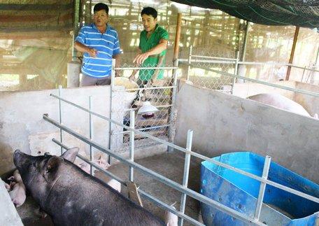Vĩnh Long: Heo tộc là giống heo gì mà nông dân ở đây nuôi sau 2 tháng cứ bán 1 con lời 500.000 đồng? - Ảnh 2.
