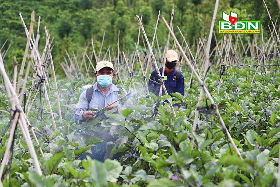 Trồng cà tím Nhật Bản, nông dân Đắk Nông bán cho ai mà hái cả trăm tấn trái vẫn không lo dội chợ? - Ảnh 1.
