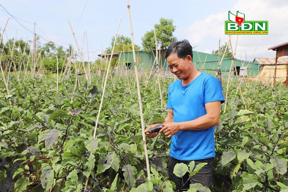 Trồng cà tím Nhật Bản, nông dân Đắk Nông bán cho ai mà hái cả trăm tấn trái vẫn không lo dội chợ? - Ảnh 3.