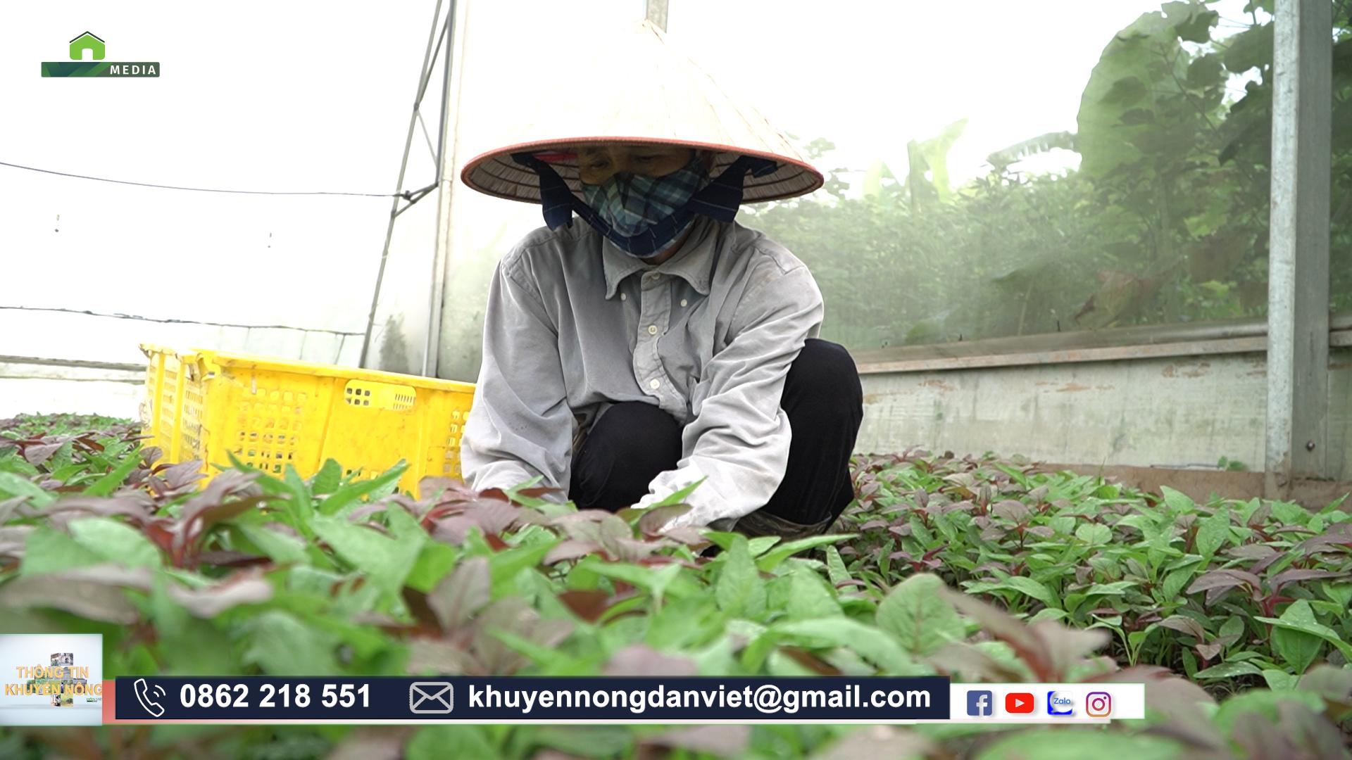 Tránh nắng cho rau siêu giỏi, nông dân Hà Nội trồng rau trái vụ vẫn cho năng suất cao  - Ảnh 1.