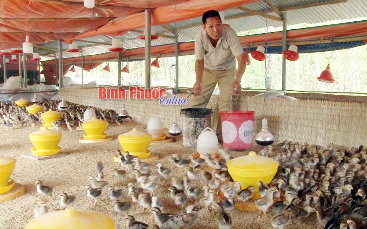 Bình Phước: Nuôi gà thả vườn quanh năm, nông dân ở đây có thu nhập khỏe, nhà nào nuôi nhà đó khá giả