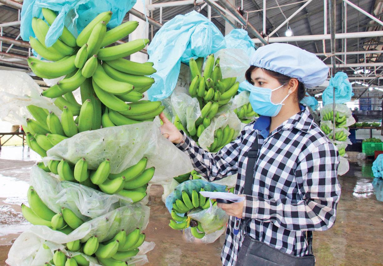 Ba loại trái cây của Việt Nam đang bán lượng khổng lồ sang Trung Quốc sẽ phải cạnh tranh với Campuchia, là những quả nào? - Ảnh 1.