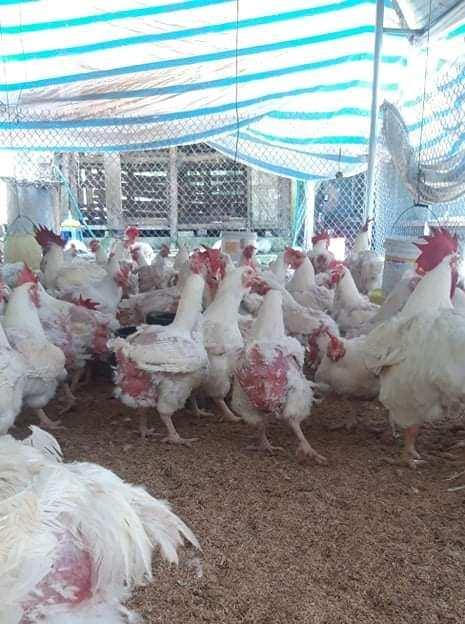 Giá gia cầm hôm nay 20/6: Vịt thịt miền Bắc đón tin vui, gà công nghiệp loại này bán trên 50.000 đồng/kg - Ảnh 3.