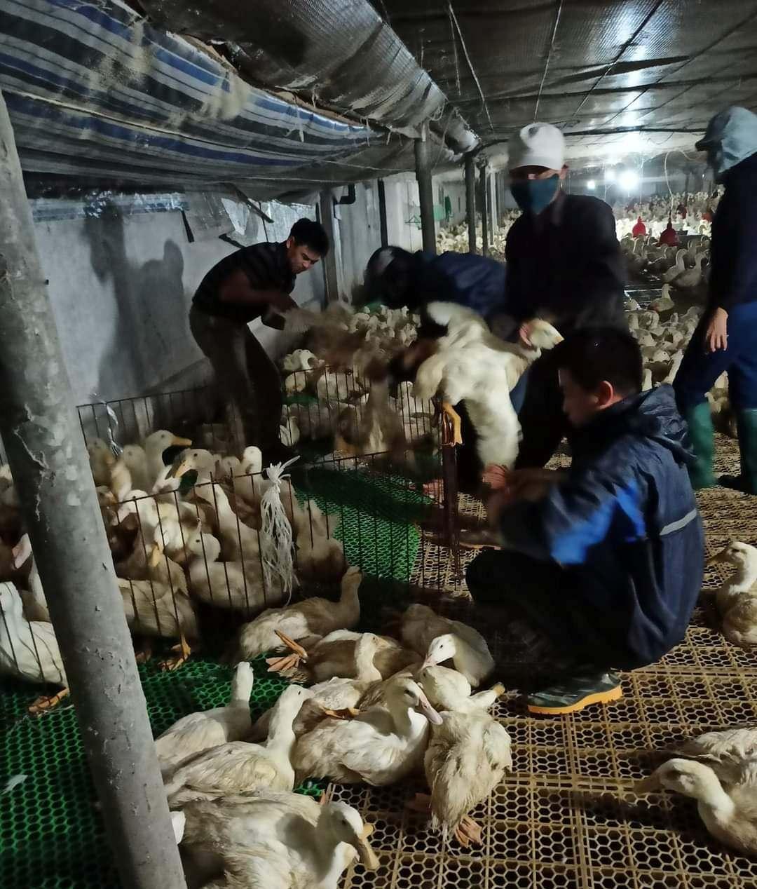 Giá gia cầm hôm nay 20/6: Vịt thịt miền Bắc đón tin vui, gà công nghiệp loại này bán trên 50.000 đồng/kg - Ảnh 1.