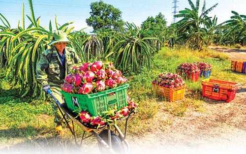 Thanh long Campuchia xuất khẩu chính ngạch sang Trung Quốc, thanh long Bình Thuận có giảm giá, ứ hàng?