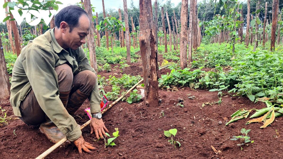 Hồ tiêu Gia Lai nhích giá, nông dân bắt đầu trồng trở lại - Ảnh 1.